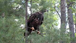 Baby Bald Eagle Learning to Fly