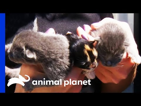 Kittens Rescued From Hoarding Situation Nursed Back To Health | Animal Cops Houston