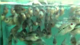 Fish farm (Vietnam)