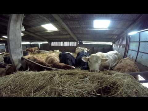 Cattle Feeding In Winter UK