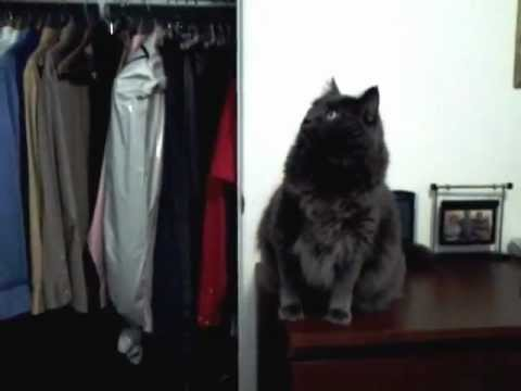 Norwegian Forest Cat Talking to Closet
