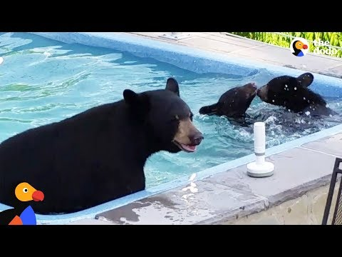 Mama Bear Sneaks Into Pool With Cubs | The Dodo