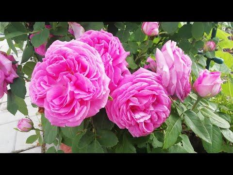 Кто вам больше нравится-петуния или роза? Обзор розария