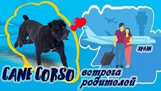 Собака Кане Корсо встречает нас из Испании. #canecorso