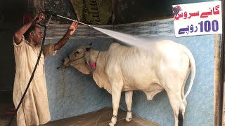 Cow Wash Service Station For Qurbani