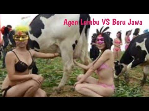 lagu agen lembu remix vs boru jawa