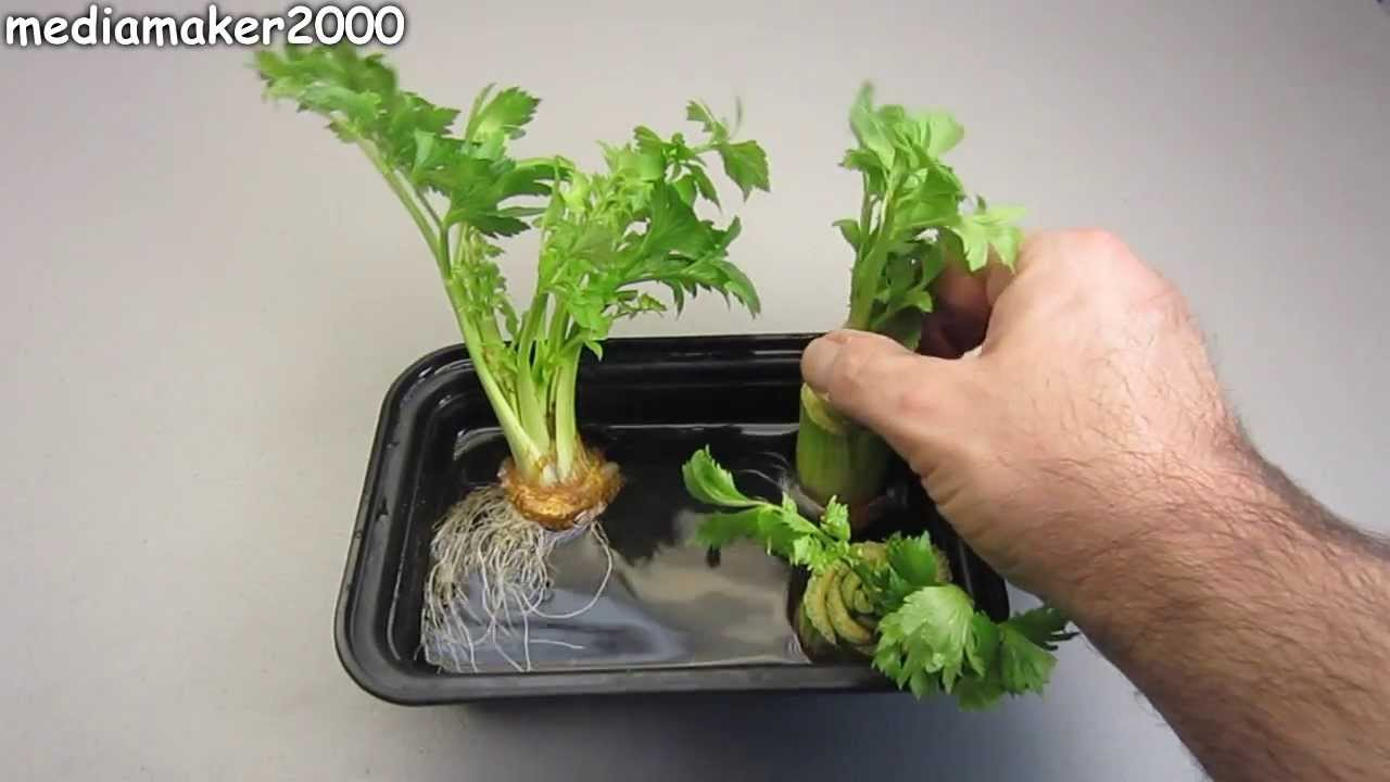 How To Regrow Celery - The Celery Regrew Roots! - YouTube  How To Regrow C...