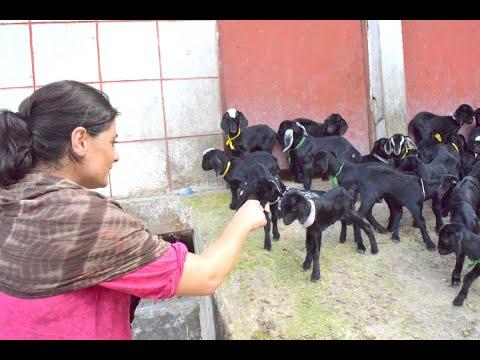 Income Generation & Employment Creation for Entrepreneurs through Black Bengal Goat-WAVE FOUNDATION