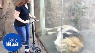 Hilarious moment lion wants to steal a woman's scooter - Daily Mail