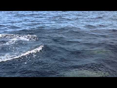 Delfine vor Gairloch