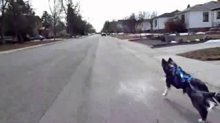 Bikejoring With Kona - Siberian Husky/border Collie Mix