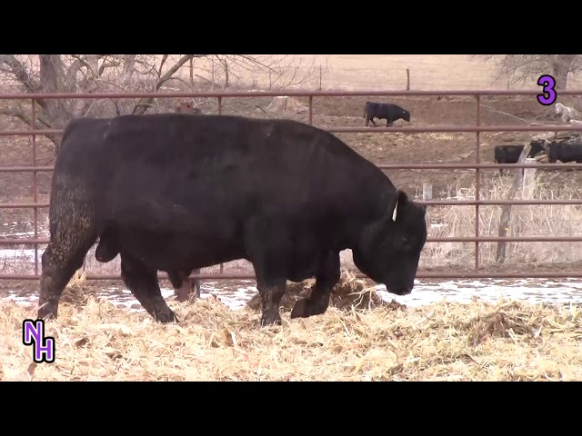New Haven Angus Lot 3