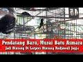 Latpres Bintang Radjawali Murai Batu Asmara Pendatang Baru Curi Pehatian Kicau Mania  Mp3 - Mp4 Download