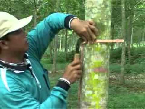 Rubber technology guidelines: Rubber tapping practice