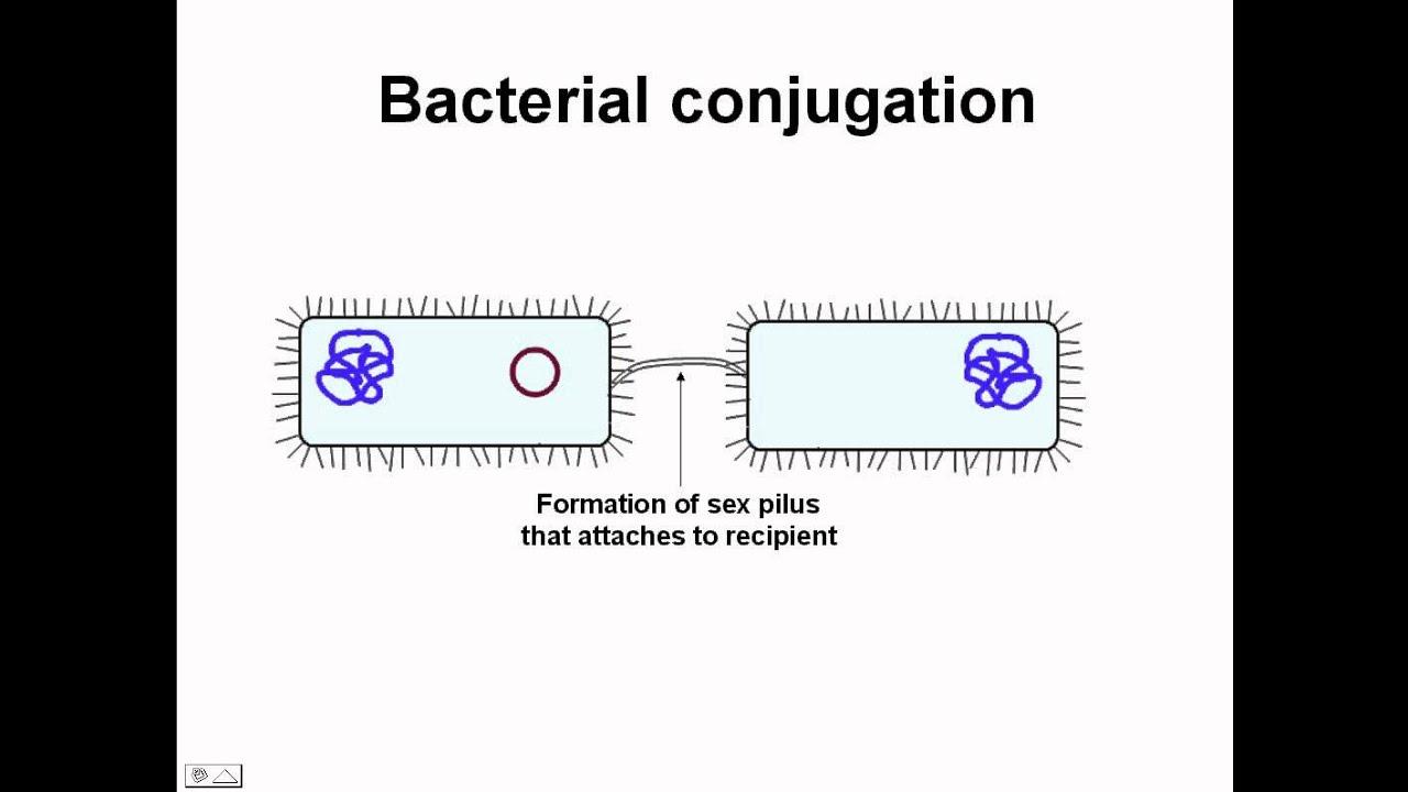 Bacteria sex