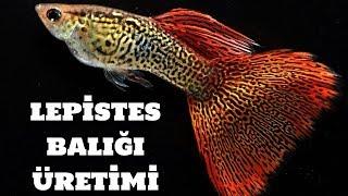 Lepistes Balığı Üretimi