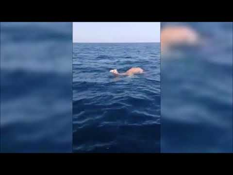 Footage Of Camels And Elephants At Sea Spark Fears Of 'April Apocalypse'