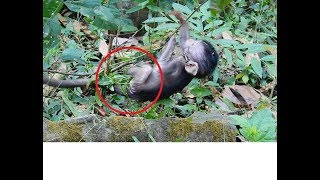 So Pity ! Why Baby Monkey Stuck Boby in Vine? Baby Cry Loudly !