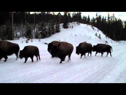 The Great Yellowstone Bison Stampede of 2012