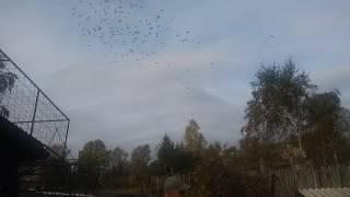 Gołębie Tadka - mała ścinka