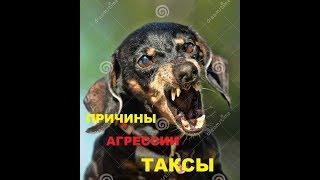 АГРЕССИЯ таксы. Причины. Дрессировка. Новосибирск.