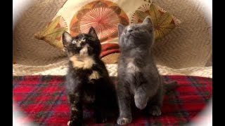 Kitten Jam - Turn Down For What Video (cute, funny cats/kittens dancing) (ORIGINAL) thumbnail