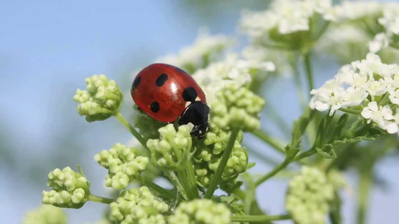attracting beneficial bugs to your garden youtube