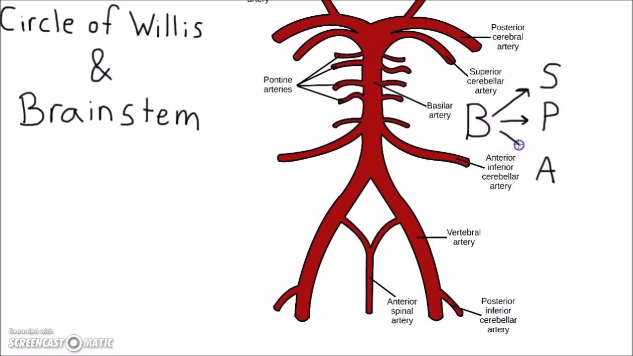 Neuroscience Circle Of Willis Mnemonic Youtube