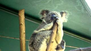 Australia Video Diary 10 FUNNY KOALA