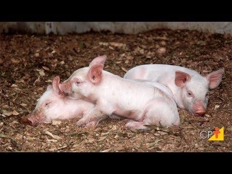 Clique e veja o vídeo  Curso a Distância Criação de Suínos em Camas Sobrepostas