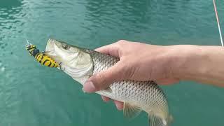LRF İLE HER ATIŞTA BALIK  / LRF İLE KASNA AVI  / BU YEM BİR HARİKA / CATCHRELEASE CHUB FISHING