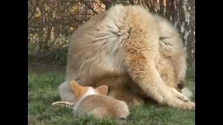 Acalantis Kennel Fci - Welsh Corgi Pembroke As Tibetan Mastiff's Baby