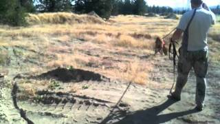 Bloodhound Training | Distraction And Discrimination | Bella