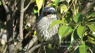 【野鳥動画図鑑001】ヒヨドリ(スズメ目ヒヨドリ科)Brown-eared Bulbul(Hypsipetes amaurotis)