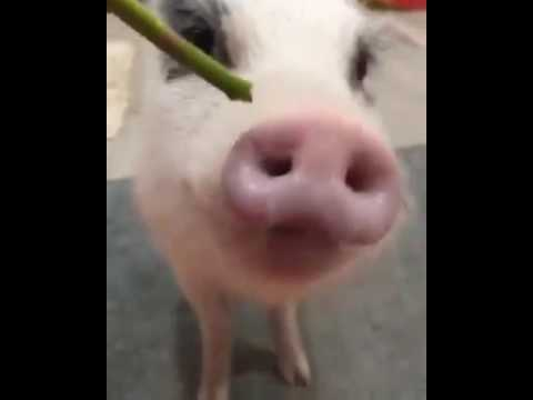 A cute micro mini pig video of paddington eating youtube - What do miniature pigs eat ...
