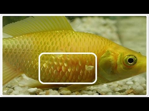 Aquarium fish disease treatment youtube for Fungus in fish tank