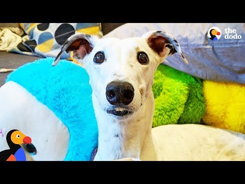 Rescue Greyhound Is The Cutest Little Diva | The Dodo