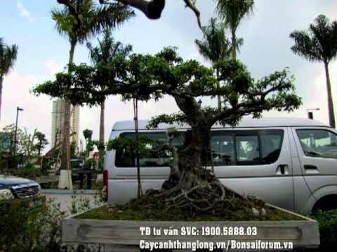 cây cảnh hà nội | Cây cảnh thăng long