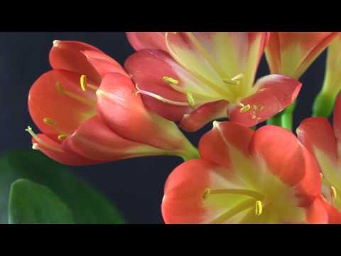 Clivia miniata-Hybride