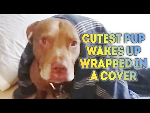 Cutest Lab/Pitbull Mix Wrapped himself in cover & wakes up!
