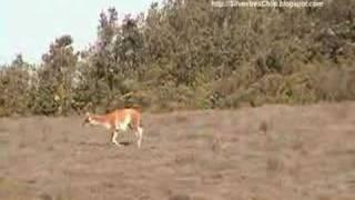 Guanaco - Lama guanicoe (SilvestresChile)
