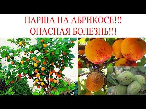 Парша на абрикосе. Лечение абрикоса от грибков.