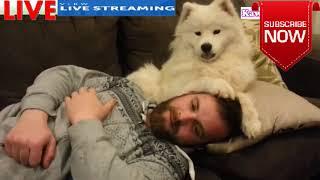 「甘えん坊犬」自分を赤ちゃんのように思っているサモエド犬・抱っこし...