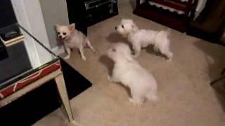 Ollie-ivy-lexi-julian-1.(maltese And Long Hair Chihuahua)