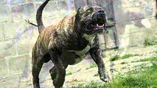 10 Most Aggressive Dogs