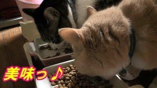 ♂猫だいずのフードをロイヤルカナンに戻しました【猫日記こむぎ&だいず】2017.03.16