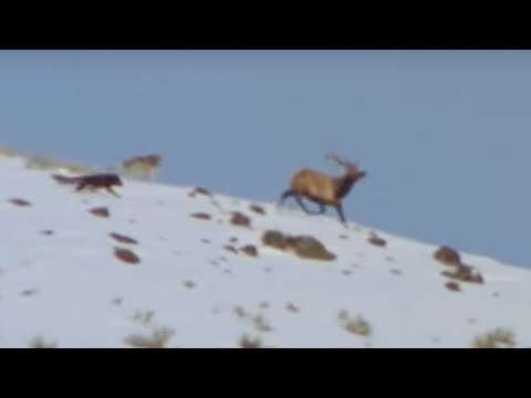 Wolf Hunting - Attenborough -  Life of Mammals - BBC