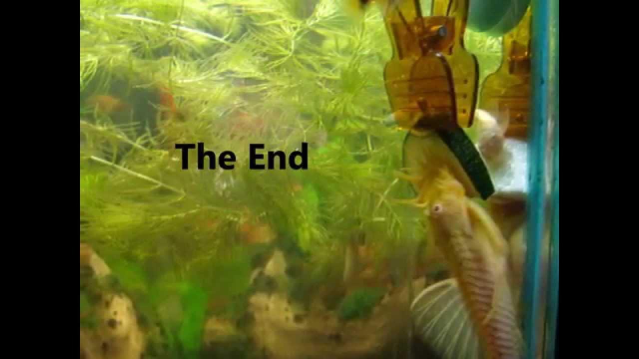 Vegetarian freshwater aquarium fish - Vegetarian Freshwater Aquarium Fish