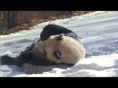 Панда и белый медвежонок радуются первому снегу. Зоопарк Торонто.