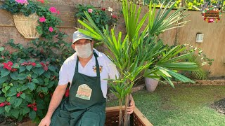Ráfia – vídeo ensina como plantar e cuidar desta palmeira
